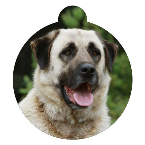Anatolian Shepherd Dog  Picture ID tag